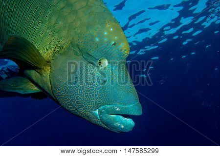 Big Napoleon Fish in the red sea