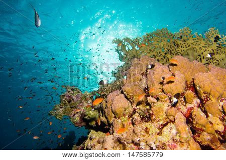 A Coral garden in the red sea