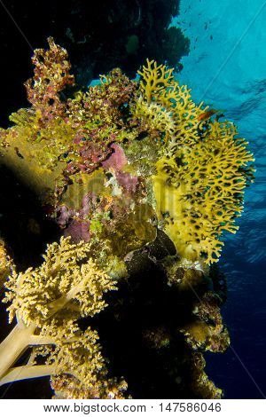 Soft coral garden in the red sea