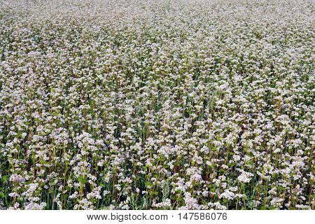 Field of white flowering buckwheat on sunny day