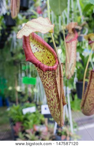 tropical pitcher plants or monkey cups on blur background