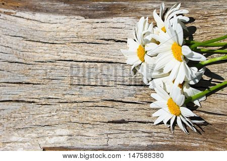 White camomile flowers on the wooden background