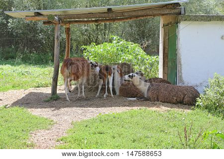 Five brown lamas grazing on pasture in zoo.