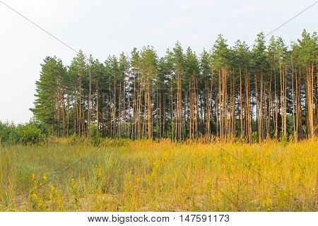 Tall pine trees in the coniferous forest