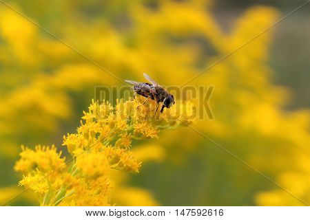 hoverfly sitting on a yellow goldenrod closeup