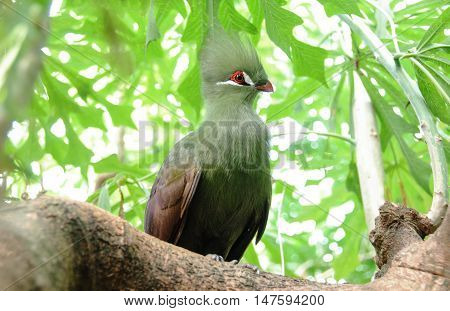 Closeup bird photo of a green Tauraco persa. Guinea Turaco sitting on a branch in a sunny and bright day.