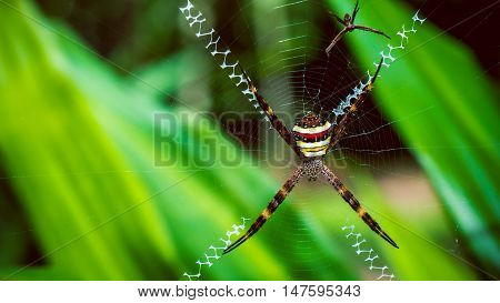 St. Andrew's Cross , Argiope spider rests on its web, Ko Tao, Thailand