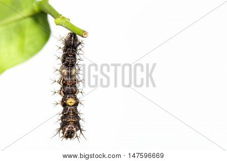 Mature Caterpillar Of The Commander Butterfly