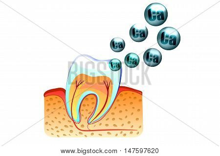 illustration of teeth and saturation with calcium of tooth enamel