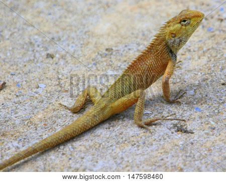 Oriental Garden Lizard on access road south of Songkhla, Thailand