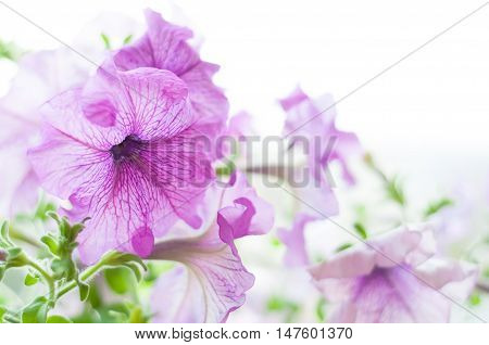 Colored Petunia Flowers In The Garden