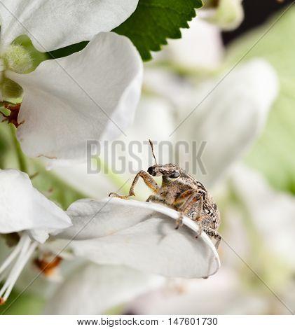 Pest Weevil Sitting On Petal