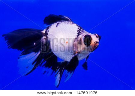 Goldfish in a glass cabinet isolated on blue background