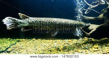 Alligator Gar (atractosteus spatula) from the side in aquarium