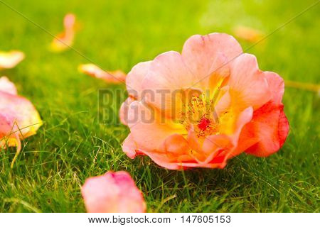 beautiful pink rose blossomed on the green field on a sunny day