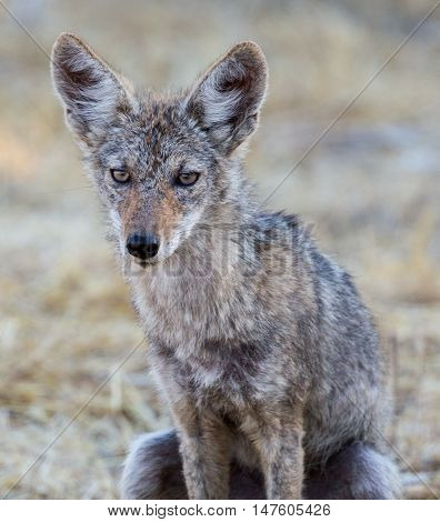 Close up of young coyote (Canis latrans) crouching in wild grass.