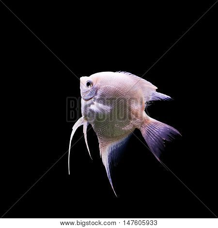 Angelfish (Pterophyllum scalare) in the fish tank isolated on black background