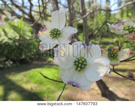 Close-up of a Dogwood bloom in Spring.