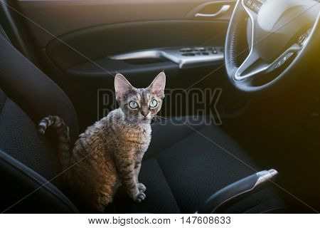 Pretty cat is sitting inside a car on the drivers seat, looking to the right side. Devon rex likes to travel in a car. Travel with pets. Cat is traveling to foreign countries and cross the boarders