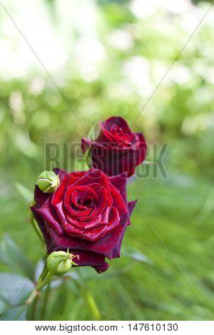 Scarlet rose closeup on green garden background