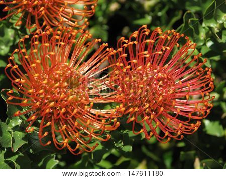 Proteas From Kirstenbosch Botanical Gardens, Cape Town South Africa 01g