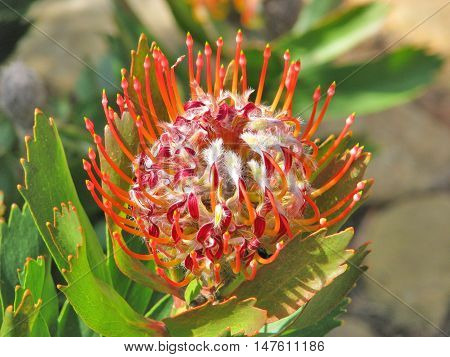 Proteas From Kirstenbosch Botanical Gardens, Cape Town South Africa 05b