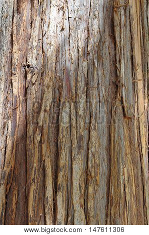 Pacific red cedar bark in close up photo