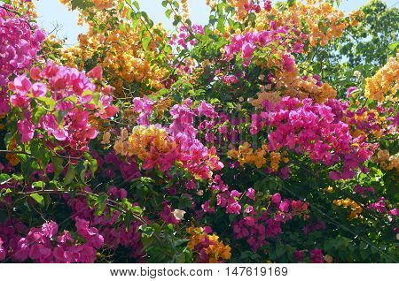 Colorful blooming Bougainvillea bushes in the garden.