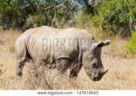 Isolated Puppy Rhinoceros, South Africa