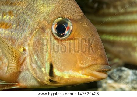Detail of head of cichlid fish from geus Geophagus