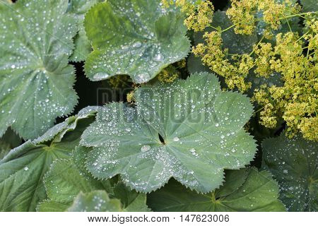 Raindrops on the Leaves of Alchemilla mollis. (Lady's Mantle)