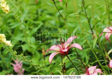 Flower of Lilium candidum (Madonna lily) in green garden in creeper day.