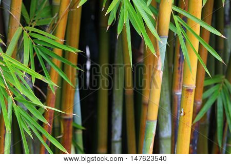 Bamboo leaves surrounding the background bamboo stems.