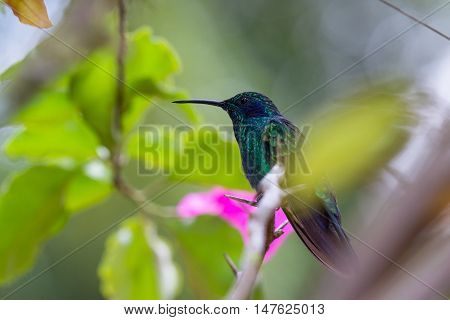 Green Violet-ear - Colibrí Thalassinus