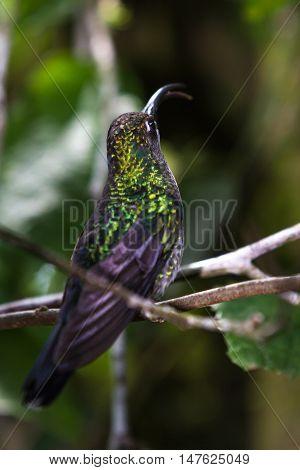 Curved Beak Hummingbird