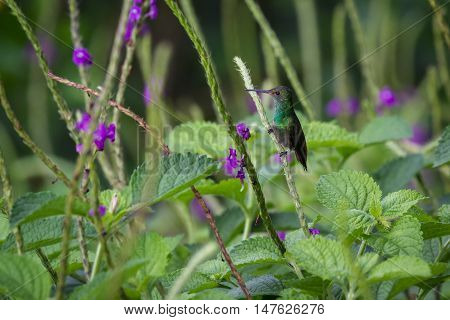 Hummingbird Perched On A Flowering Stem
