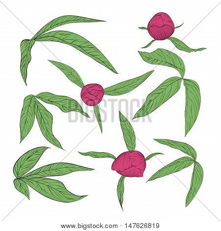 set of beautiful peony leaves and buds isolated on white. Hand-drawn contour lines and strokes.