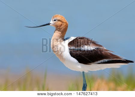 American Avocet in Breeding Plumage, standing in a marsh, Oregon, USA