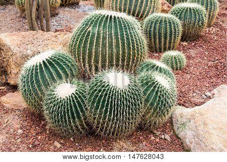 golden barrel cactus on the gravel in botanical garden