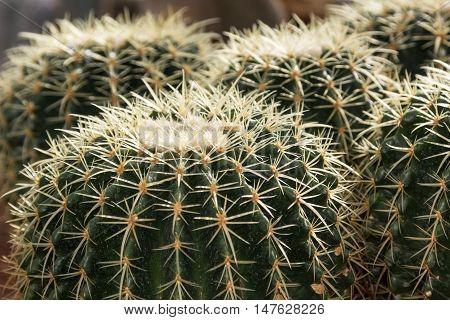 close up of golden barrel cactus on the gravel in botanical garden