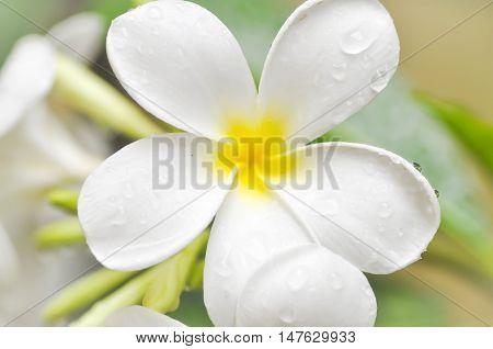plumeria flower or pagoda tree , plumeria