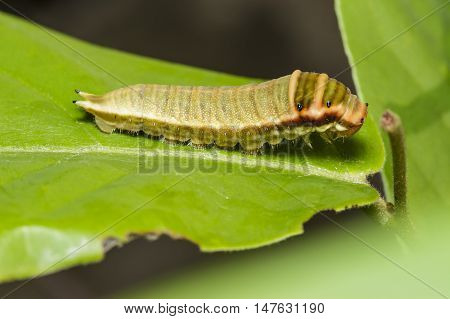 Caterpillar of Five bar swordtail butterfly (antiphates pompilius) on host plant