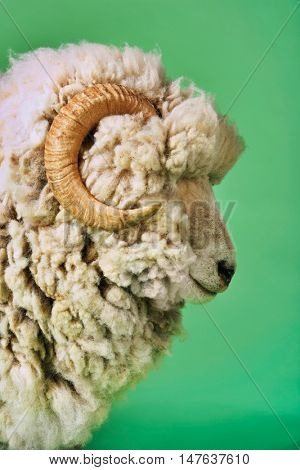 Closeup side view of ram against green background