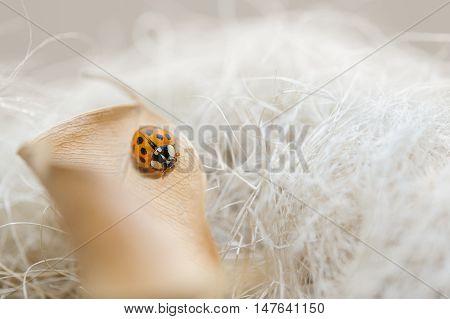 Ladybug On Fallen Beige Leaf With Dream Background