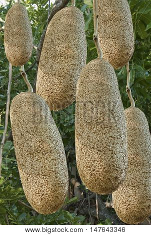 unusual African sausage tree with sausagelike fruits that hang down from the limbs on long ropelike stalks