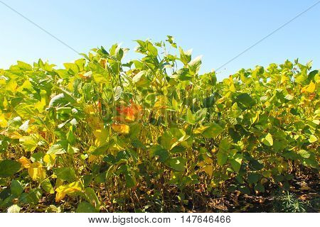 Soy plants in a cultivated farmers field