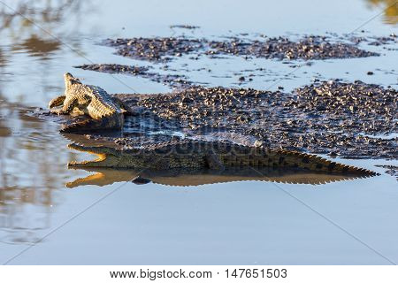 Crocodiles On River Bank. Safari In Kruger National Park, Travel Destination In South Africa.