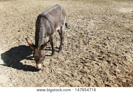 The grey cute donkey in a paddock