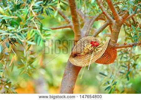 Womens hat on the tree in the olives garden, autumn harvest season, lazy day in countryside, relaxation after agricultural work concept