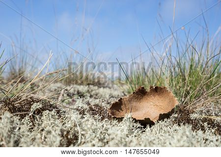 Dried giant puffball. Young white mushroom is edible fungus. Calvatia gigantea blue sky moss and grass in background. Seaside natural environment. Shore in Koipsi Island Estonia Europe